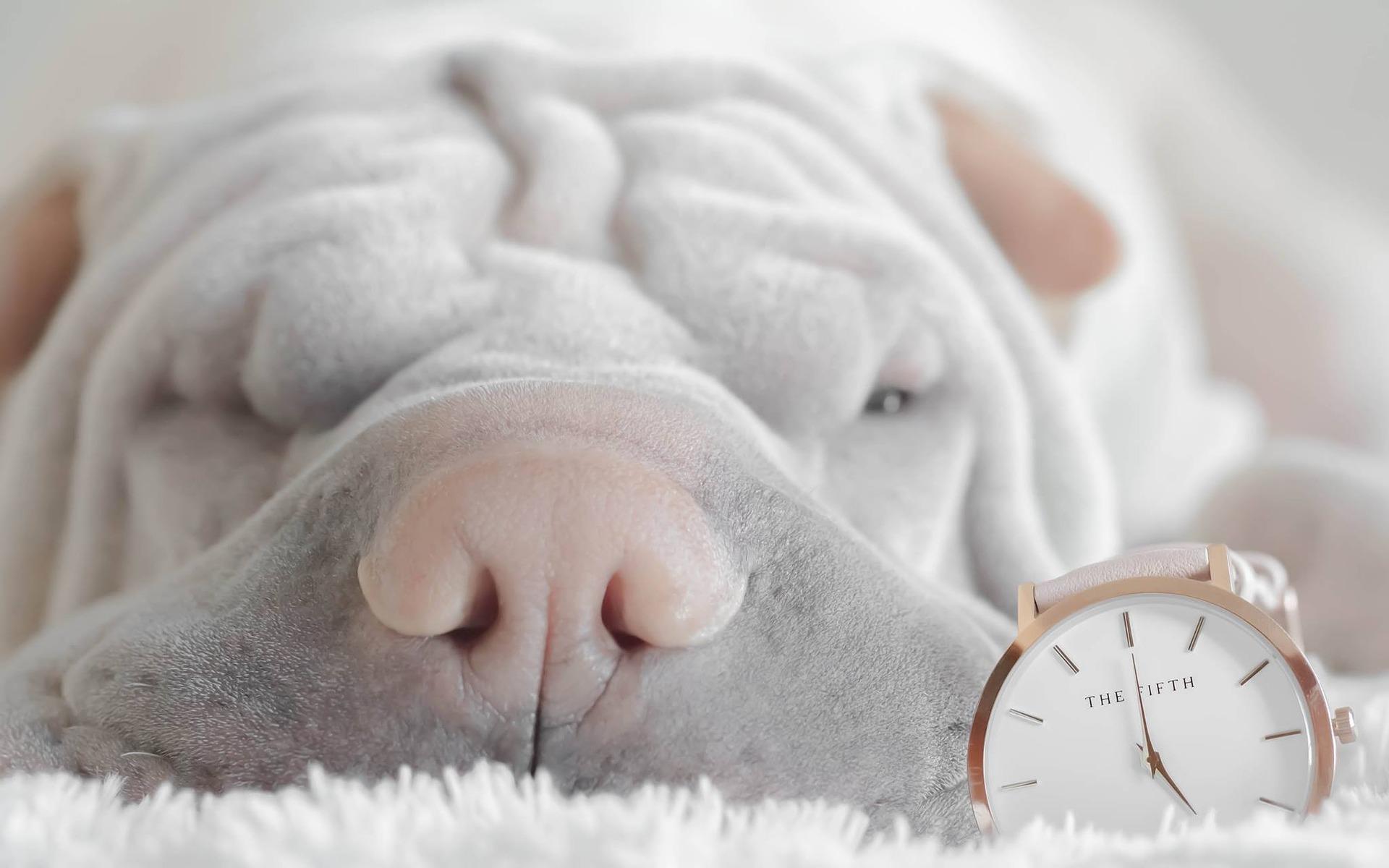 pies leżący na dywanie